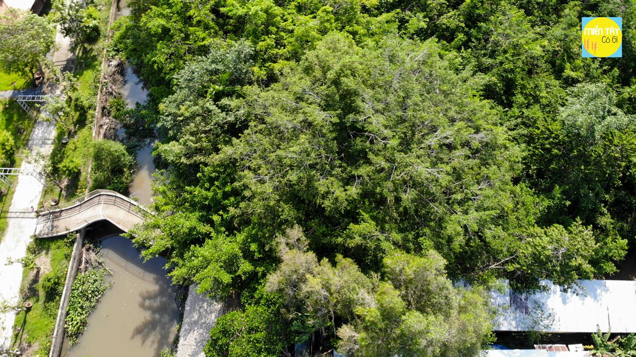 Giàn Gừa Cần Thơ | Tìm hiểu về cây 5 đời người hàng trăm năm tuổi