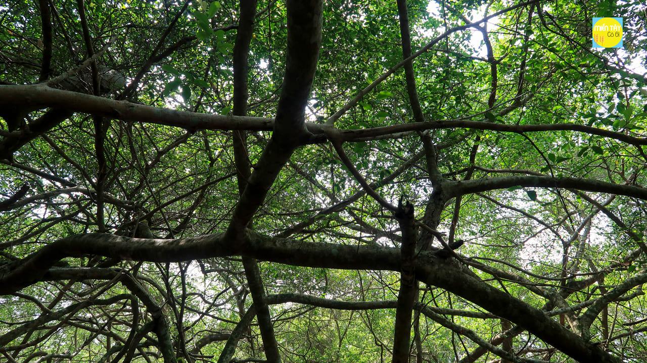Nhánh cây Giàn Gừa lớn nhỏ khắp nơi