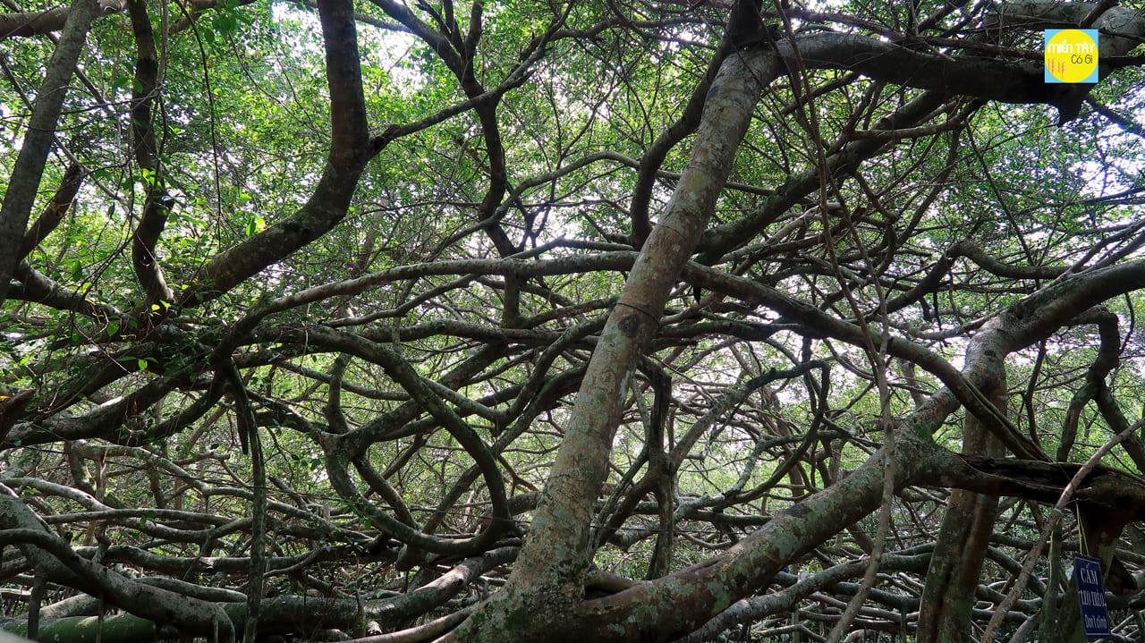 Rễ cây gàn tủa ra như một mê cung