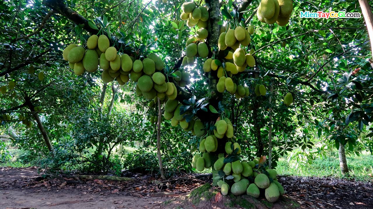 Mít Malaysia ở vườn Ba Cống