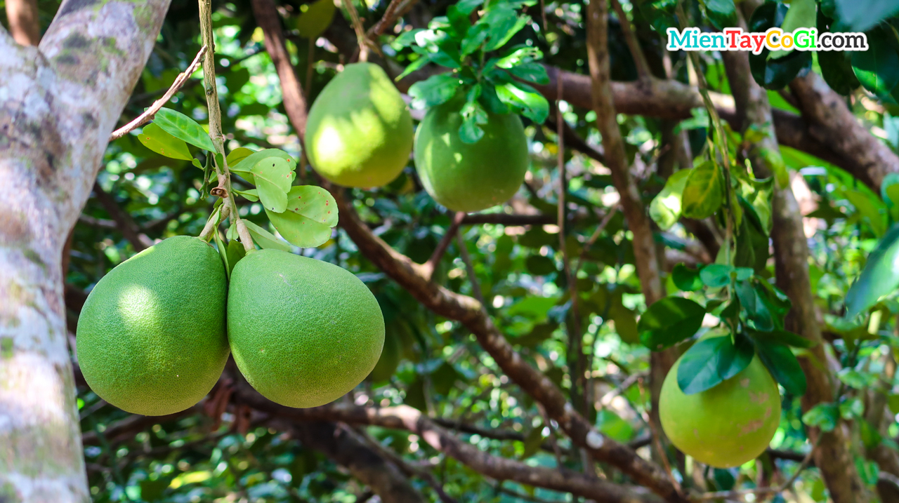 Pomelo garden in May Island tourist area