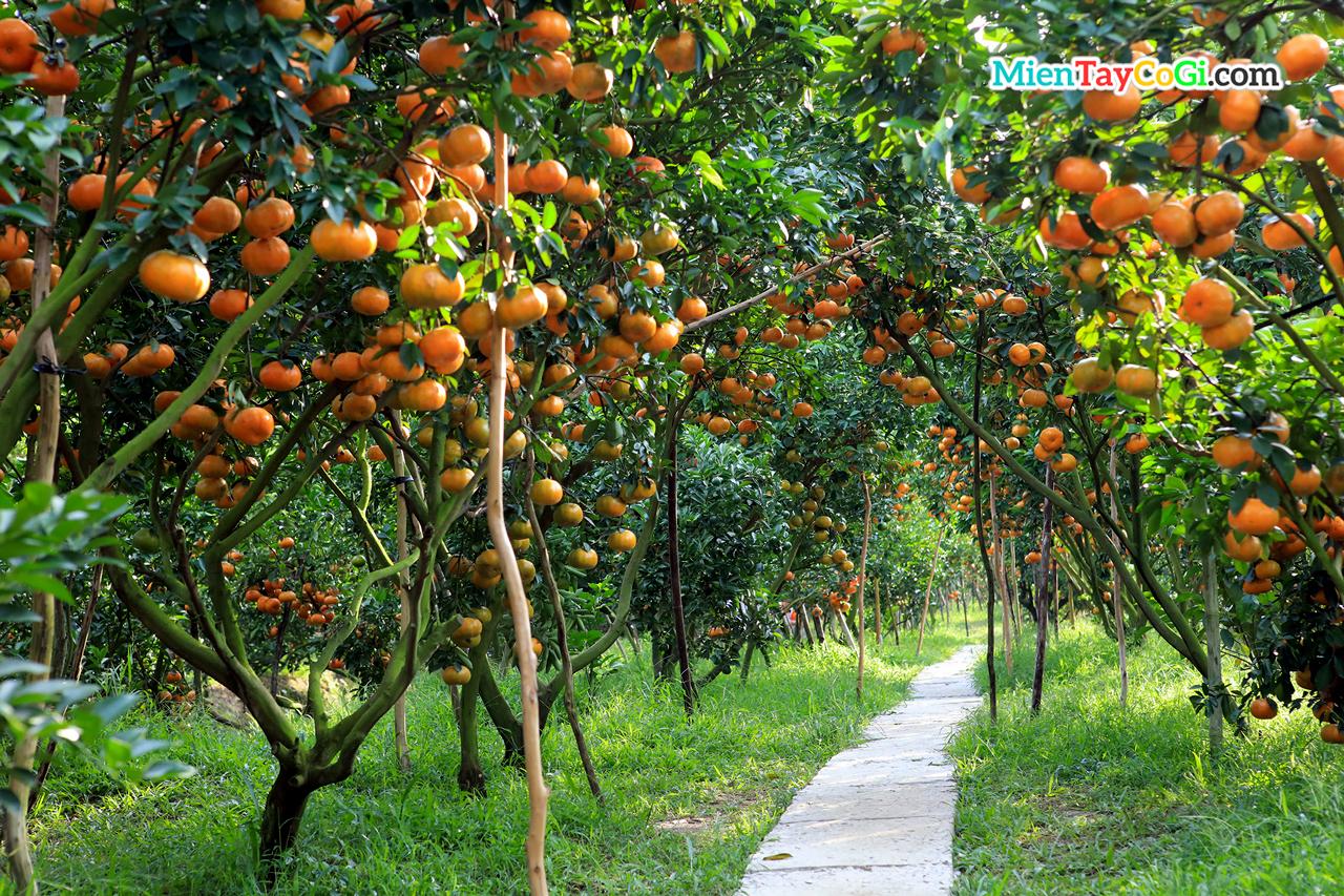 Vườn Quýt Hồng Lai Vung Đồng Tháp | Địa chỉ điểm tham quan ĐẸP