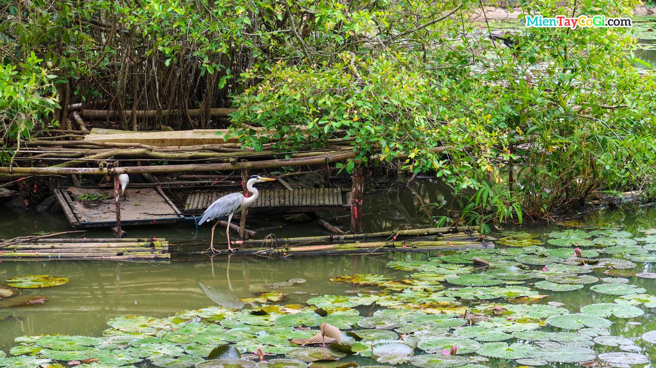 Xẻo Quýt là nơi bảo tồn khá nhiều loài chim cò