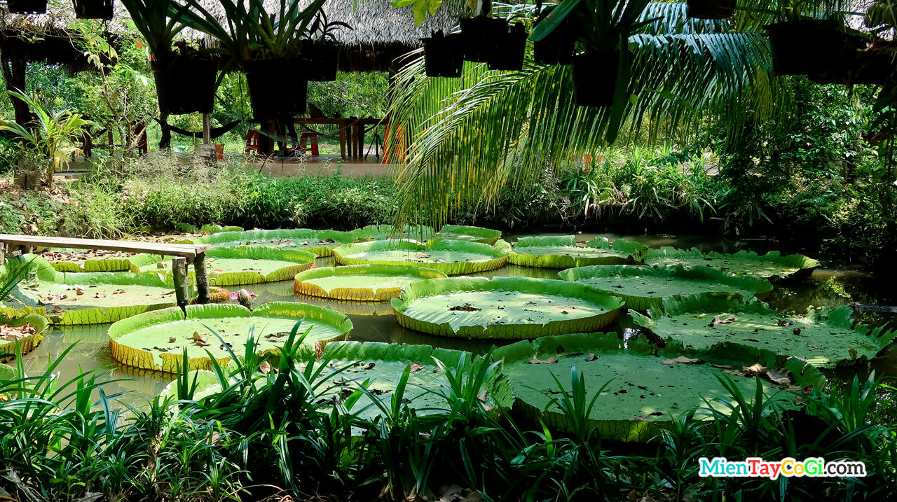 Giant lotus pond garden of Song Khanh
