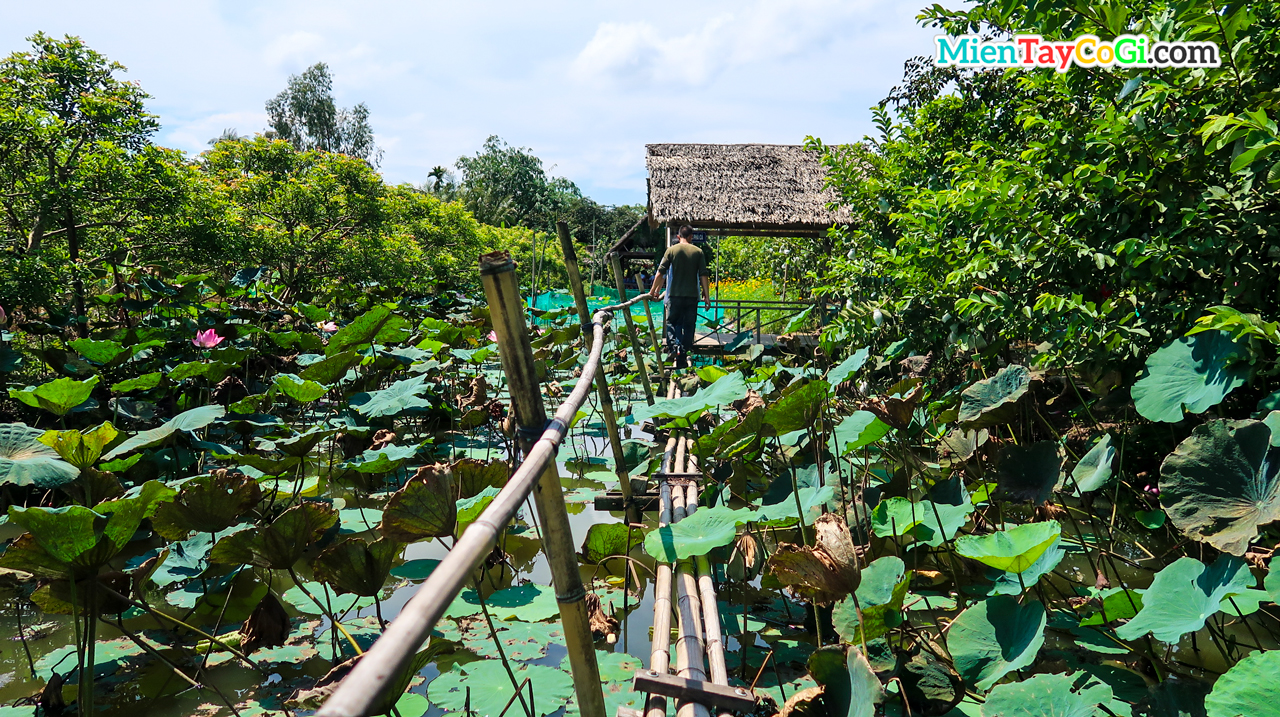 Lotus pond in flying snakehead fish in Tin Hoa Son Islet