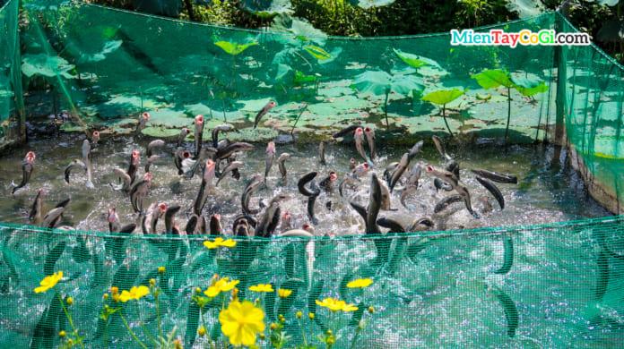 Cá lóc bay Cồn Sơn