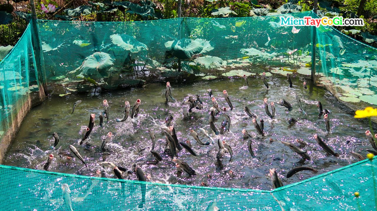 Cá lóc bay nhà vườn Tín Hóa Cồn Sơn