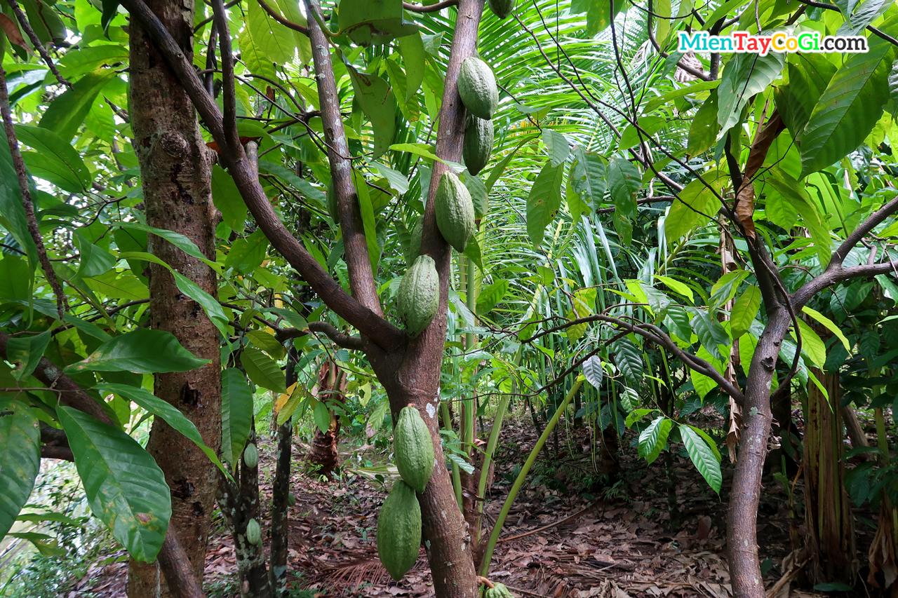 Cây ca cao đầy trái trên thân cây