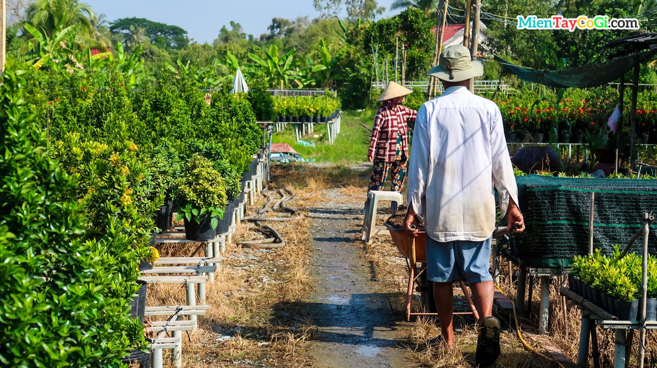 Người dân trồng hoa tất bật thu hoạch bán dịp Tết