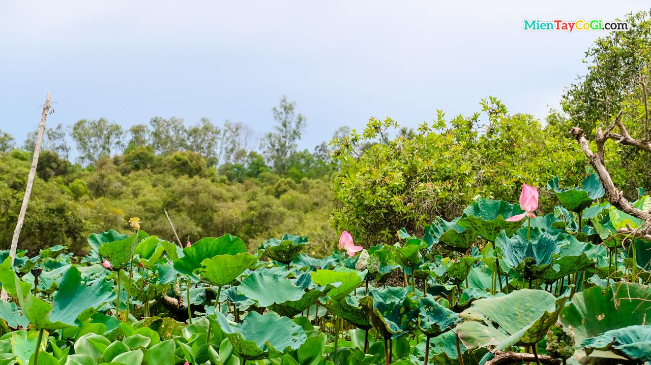 Những bông sen tươi thắm tô cảnh sắc thiên nhiên rừng tràm Trà Sư