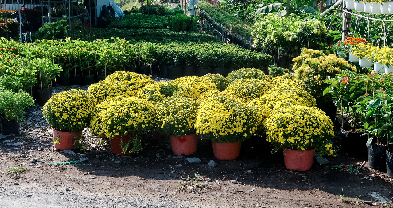 Pots of raspberry chrysanthemum for sale in Sa Dec flower village