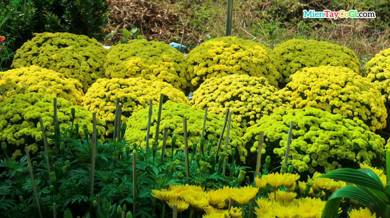 Chrysanthemum pots for sale