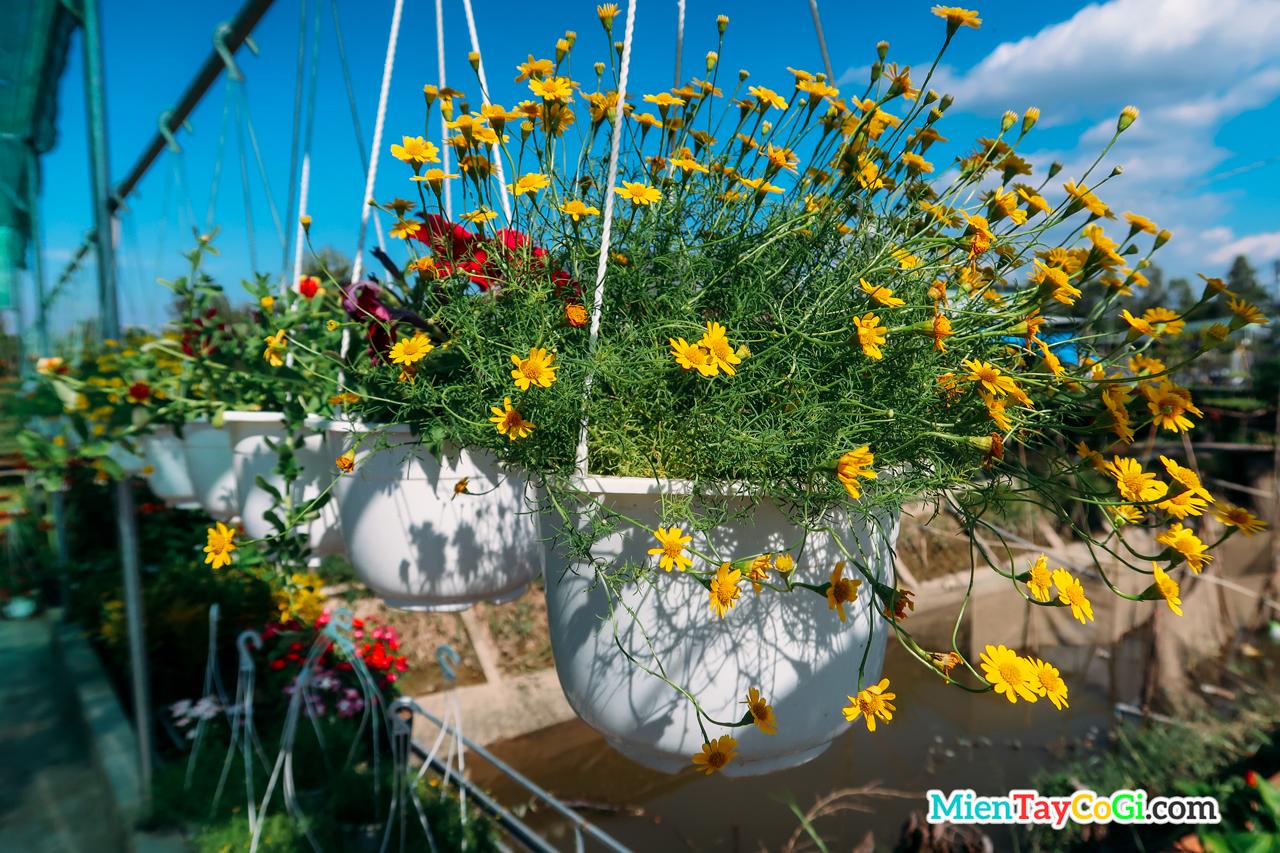 Những chậu hoa cúc xinh đẹp