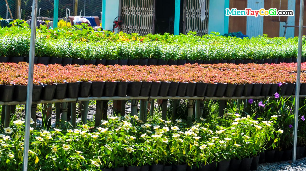 Nhiều chậu kiểng được bày bán khắp nơi ở làng hoa Sa Đéc Đồng Tháp
