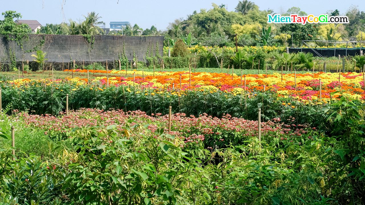 Rực rỡ sắc màu ở làng hoa Tân Quy Đông Đồng Tháp