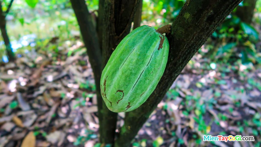 Trái ca cao trên cây