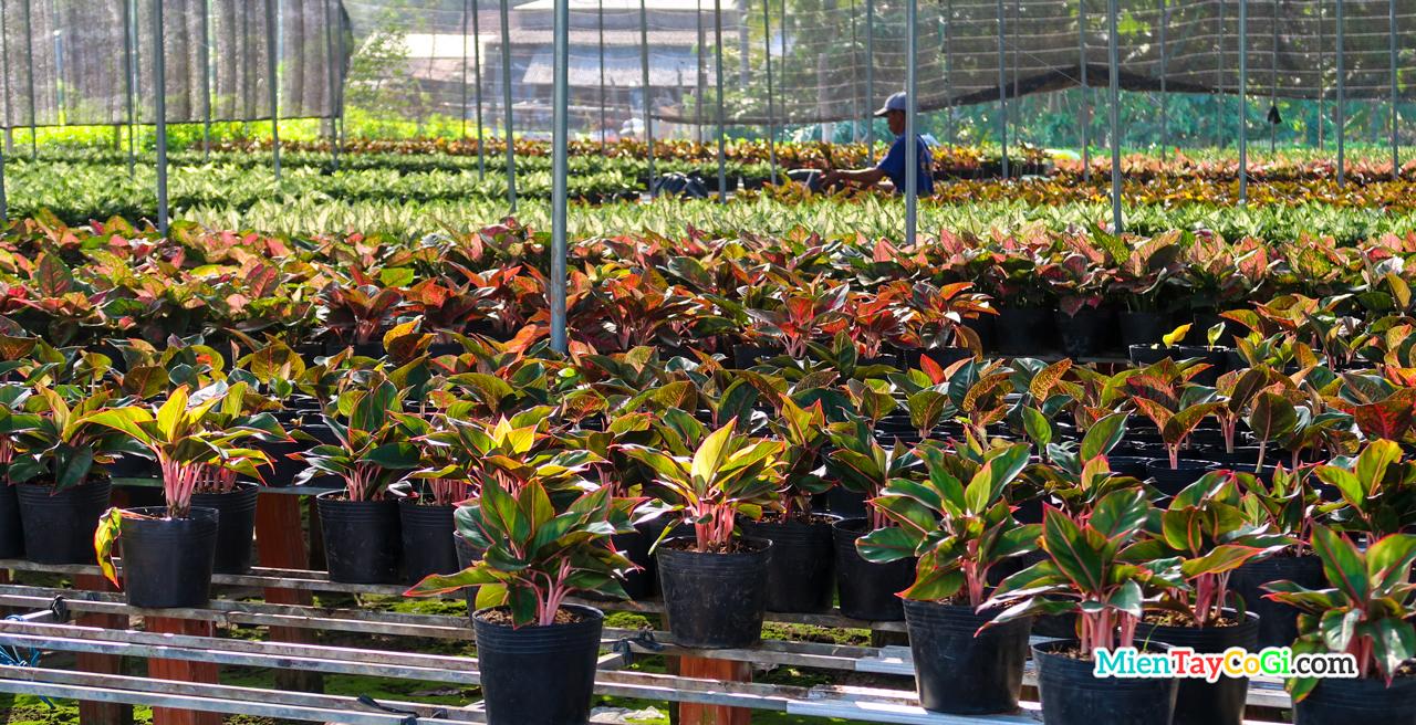Vườn cây họ phát tài Làng hoa Sa Đéc