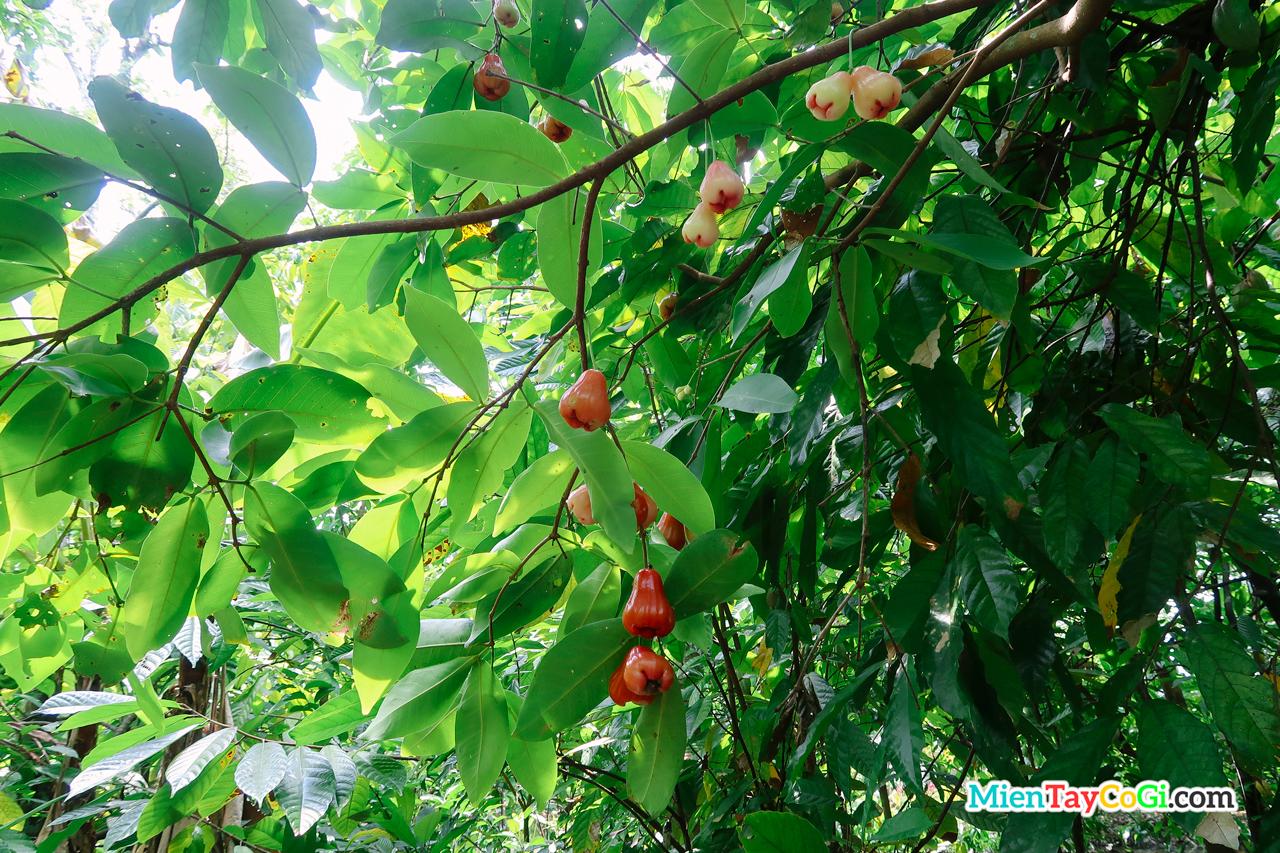Vườn ca cao Mười Cương có xen canh một vài loại trái cây