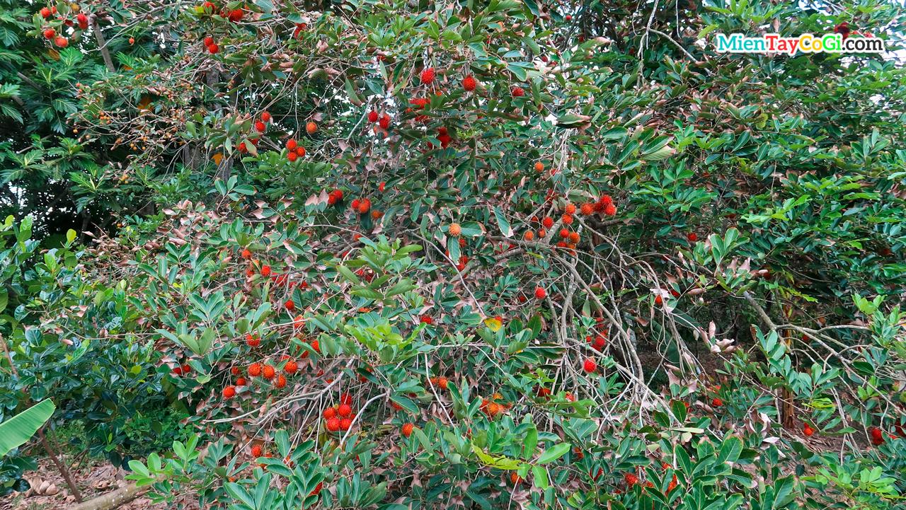 Rambutan garden Son Islet