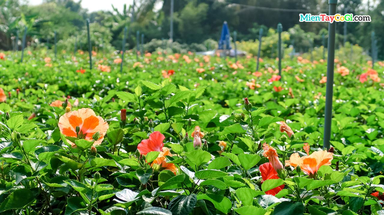 Vườn hoa dâm bụt Làng hoa Sa Đéc