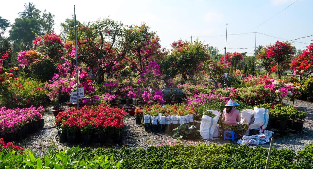 Vườn hoa giấy Làng hoa Sa Đéc