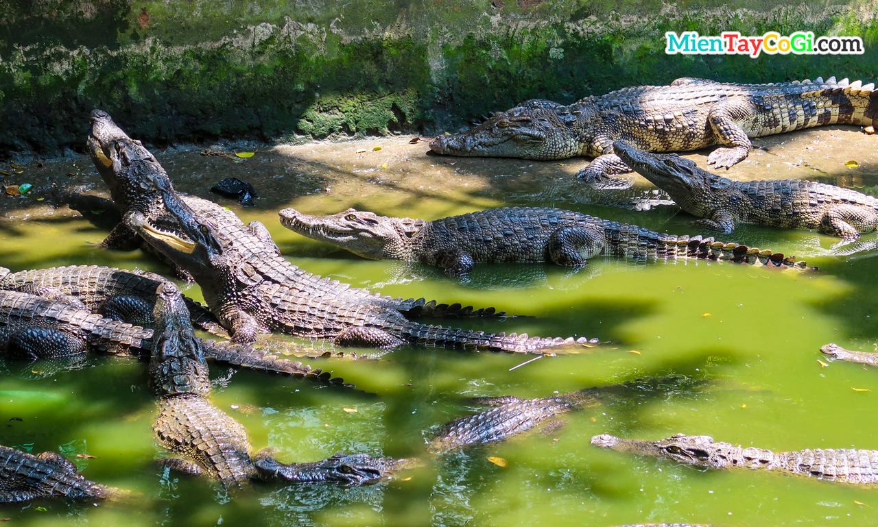 Cá sấu chờ đợi mồi câu