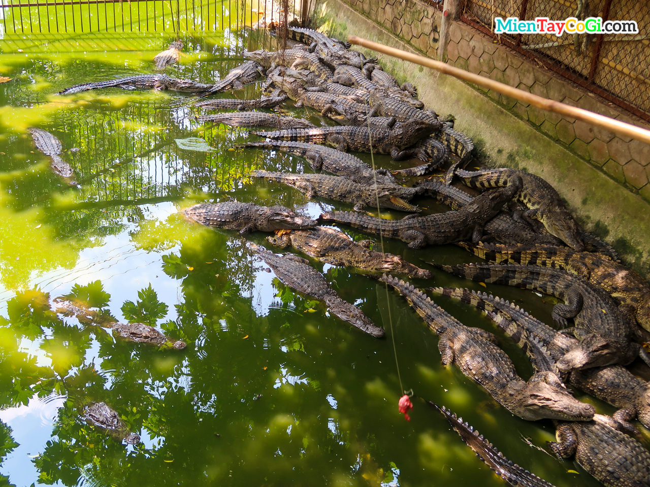 Chơi câu cá sấu