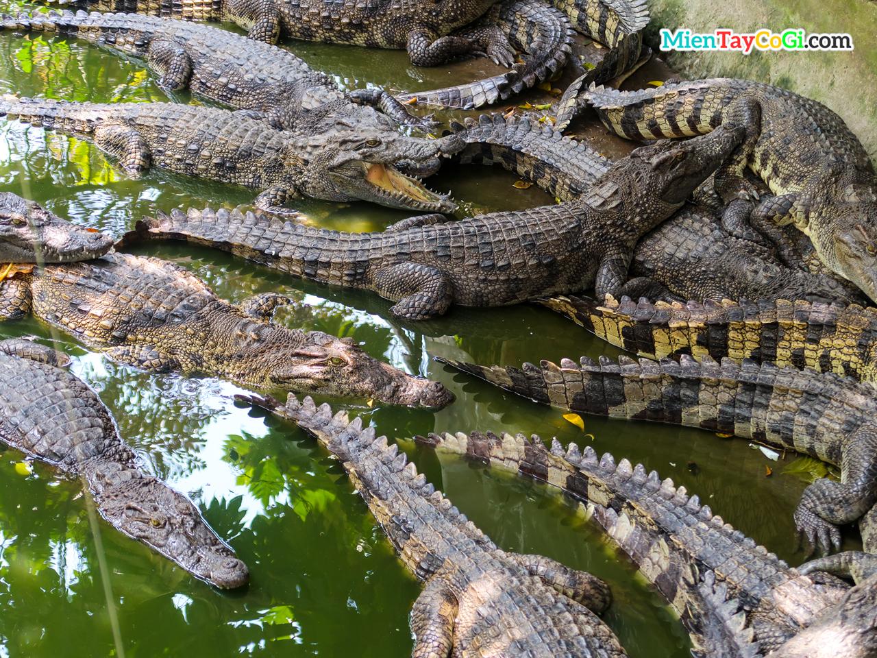 Những con cá sấu xếp chồng lên nhau