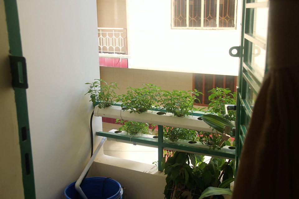 Rau trồng thủy canh để khách dùng