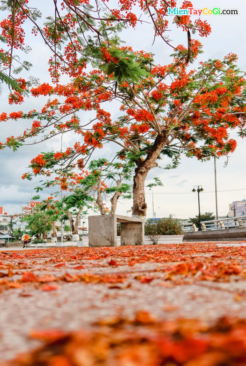 Cây hoa phượng đẹp miền Tây