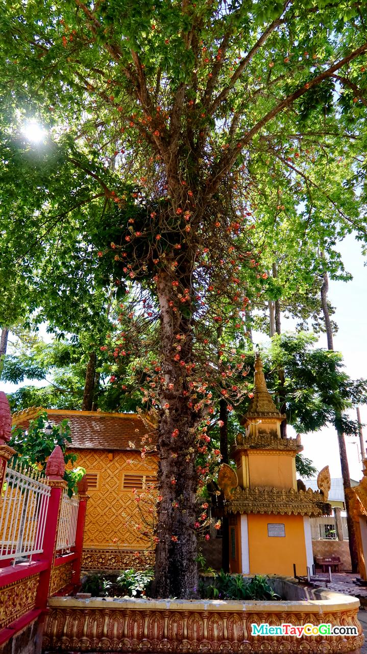 Cây Sala 50 năm tuổi ở chùa Khmer Ô Môn Pothisamron
