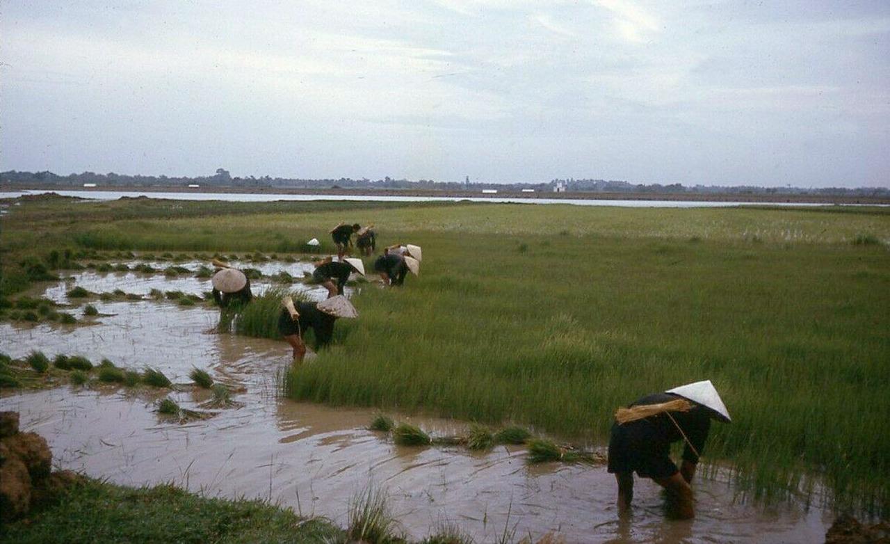 Người dân Cà Mau gặt lúa năm 1962