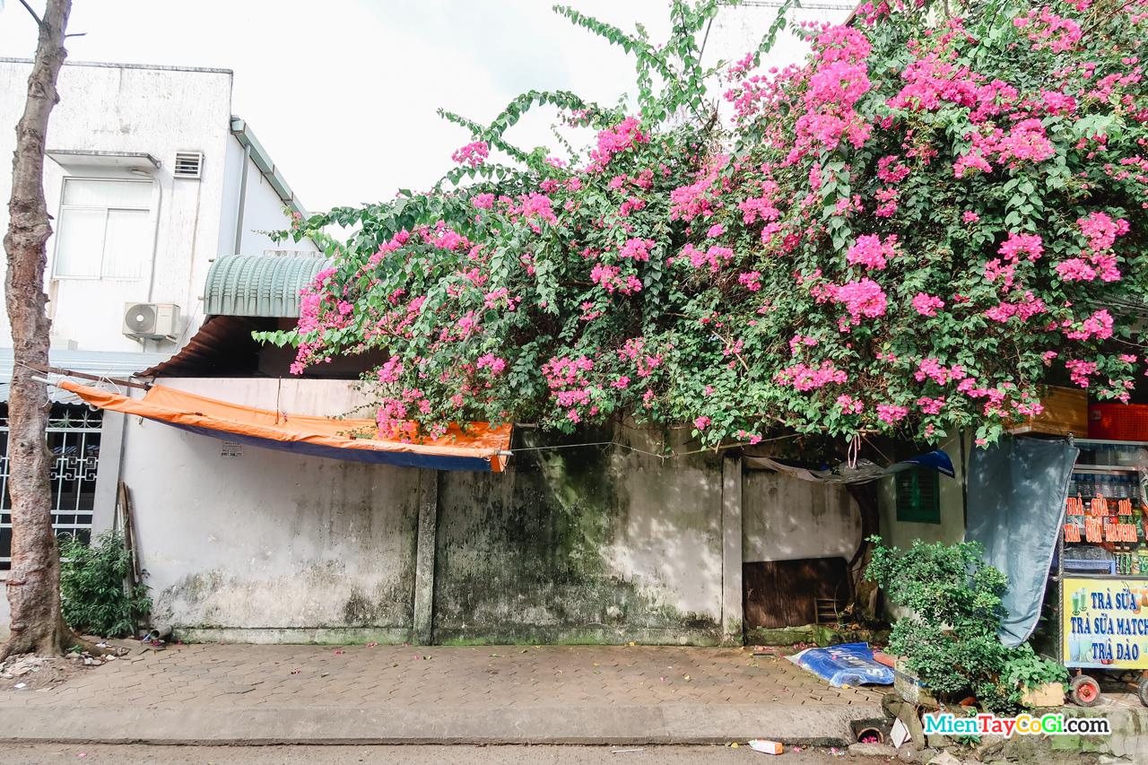 Bụi hoa giấy trong một con hẻm ở Cần Thơ
