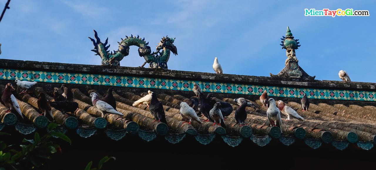 Đàn bồ câu đậu trên mái ngói ở chùa Quang Xuân Cần Thơ