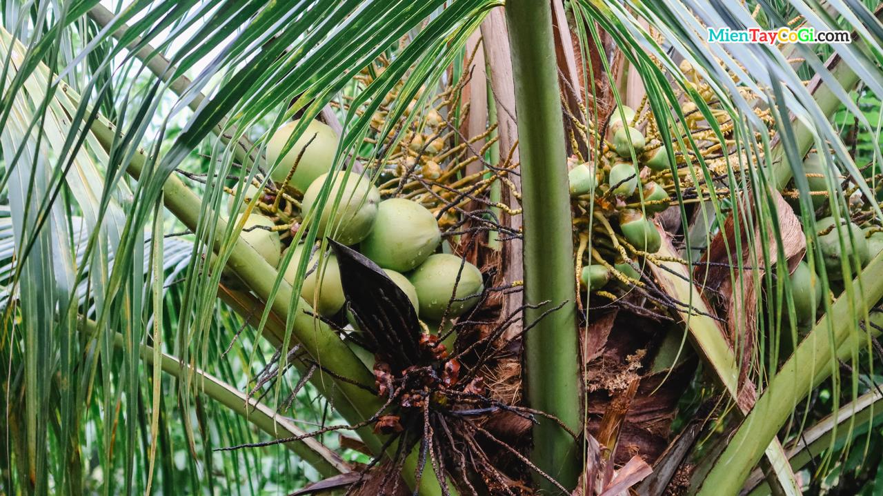 Dừa được trồng bên trong chùa