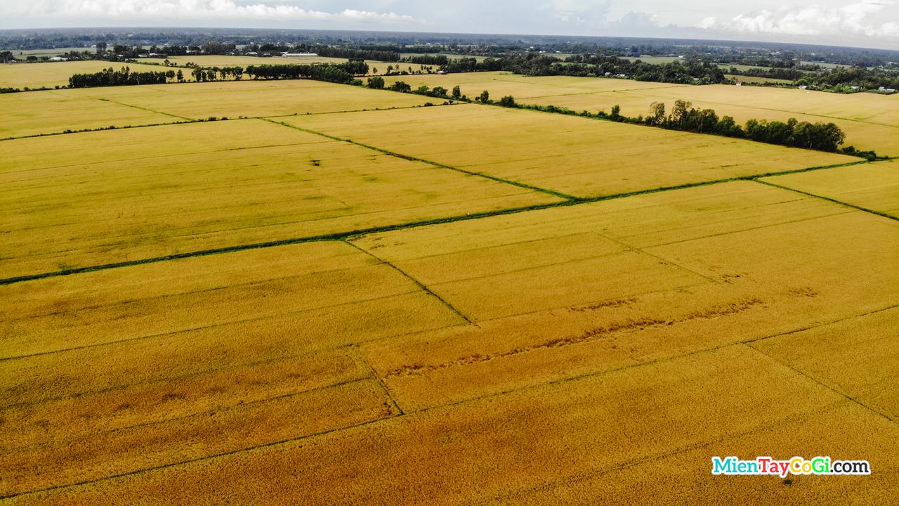 Những cánh đồng lúa vàng của miền quê