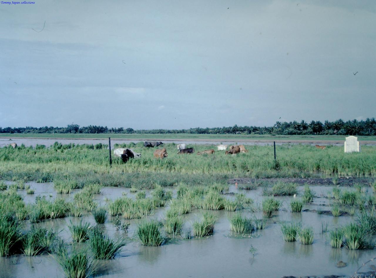Những chú bò ăn cỏ gần trại Bình Phước tháng 8 năm 1967 | Photo by Fletcher Clyde