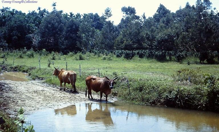 Những chú bò được thả rong ở Bến Lức năm 1967 - 1968 | Photo by Dave Paine