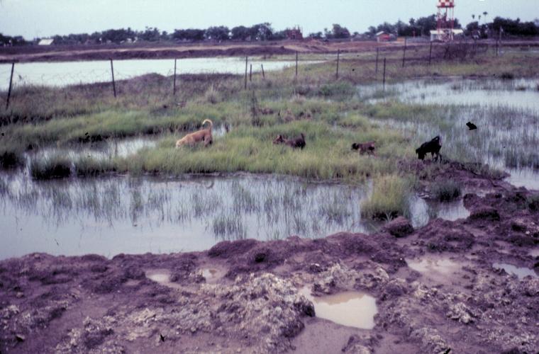 Cánh đồng lúa gần trại Tân An năm 1969 | Photo by Craig Ailles