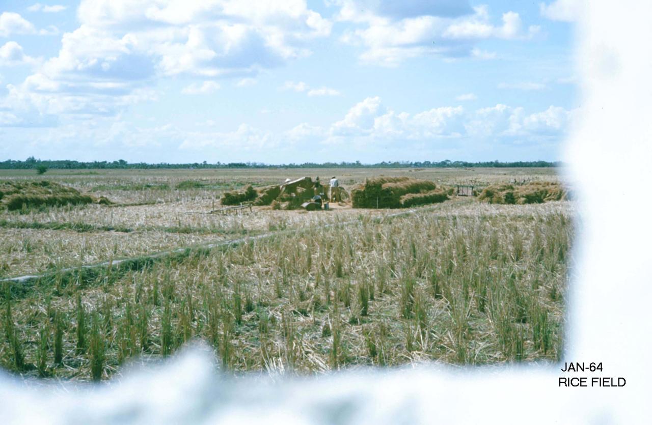 Gặt lúa ở Sóc Trăng năm 1964 | Photo by George Muccianti