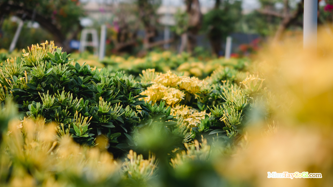 Bông trang vàng làng hoa Sa Đéc 2021