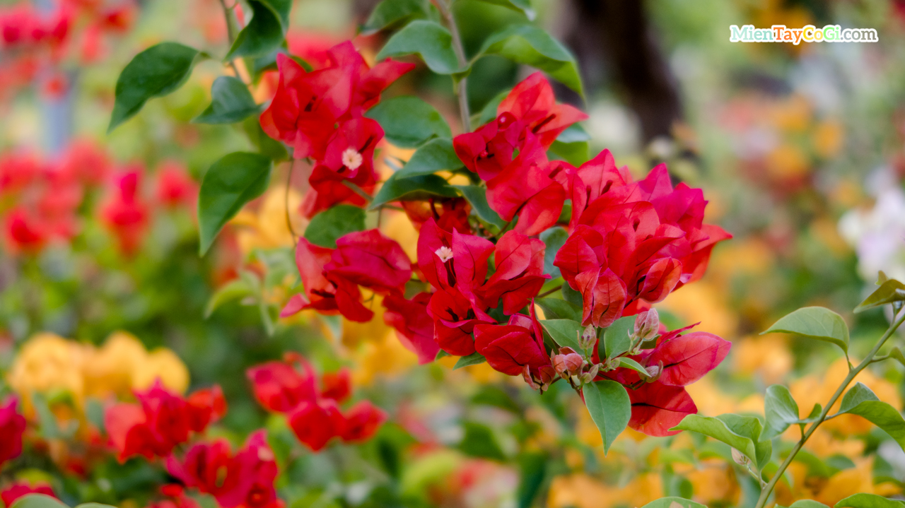 Hoa giấy màu đỏ