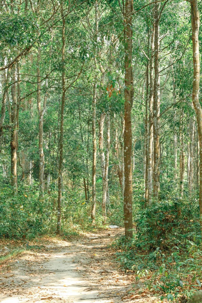 Khung cảnh khu rừng cây sao Tri Tôn vào buổi sáng