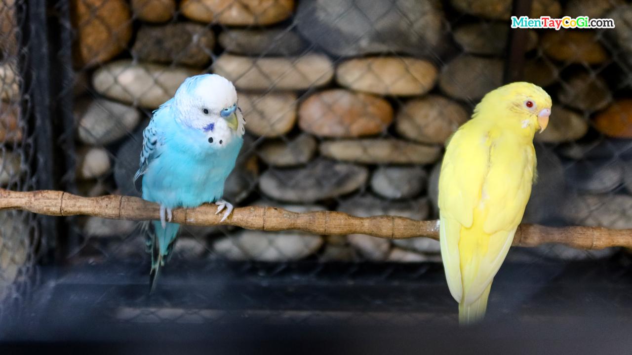 Những chú vẹt nuôi bên trong quán Zone 7 Coffee