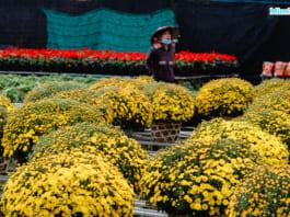 Những chậu cúc mâm xôi rực rỡ sắc vàng ở làng hoa Sa Đéc 2021