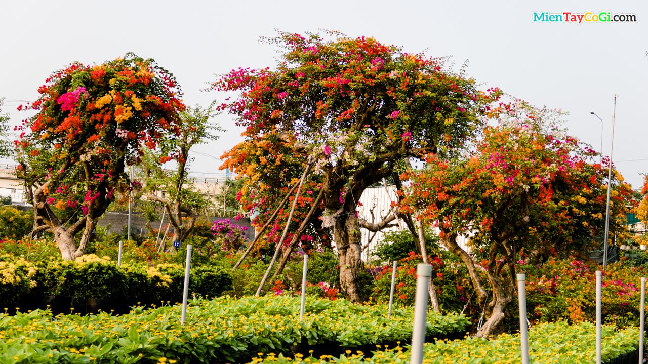 Vườn bông giấy tuyệt vời ở Làng hoa Sa Đéc năm 2021