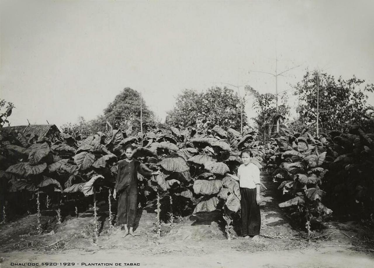Đồn điền thuốc lá Châu Đốc thập niên 1920s