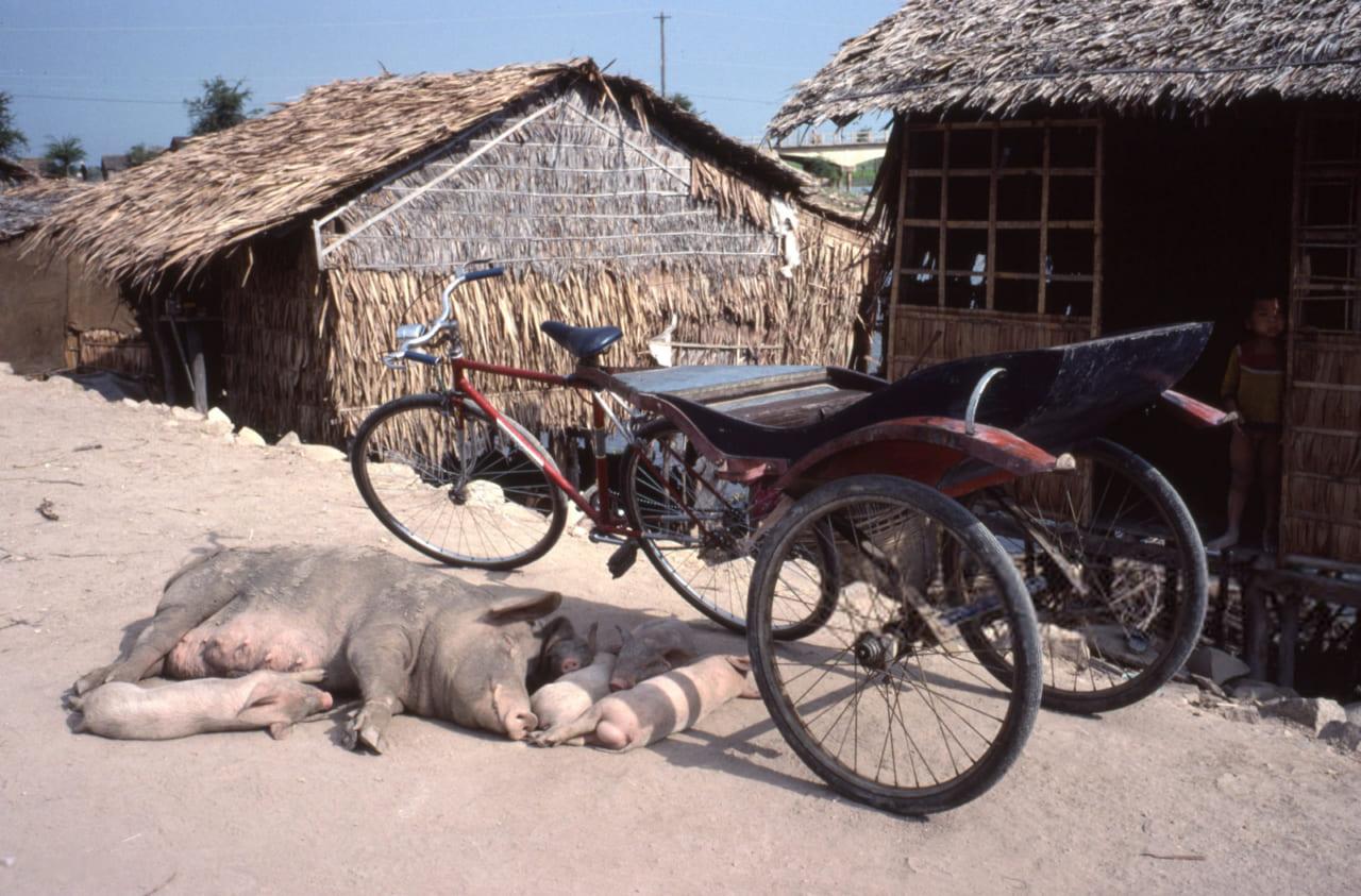 Heo nái với đàn con ngủ dưới bóng xe lôi ở Long Xuyên