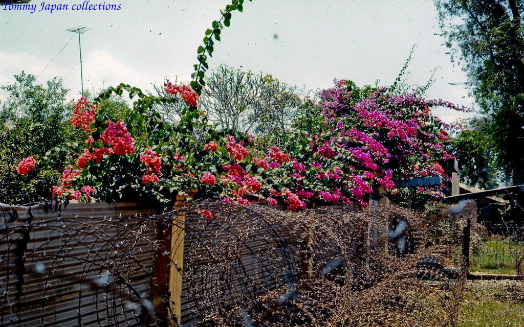 Kẽm gai phòng thủ và dàn hoa giấy ở Chợ Gạo năm 1969   Photo by Lance Cromwell