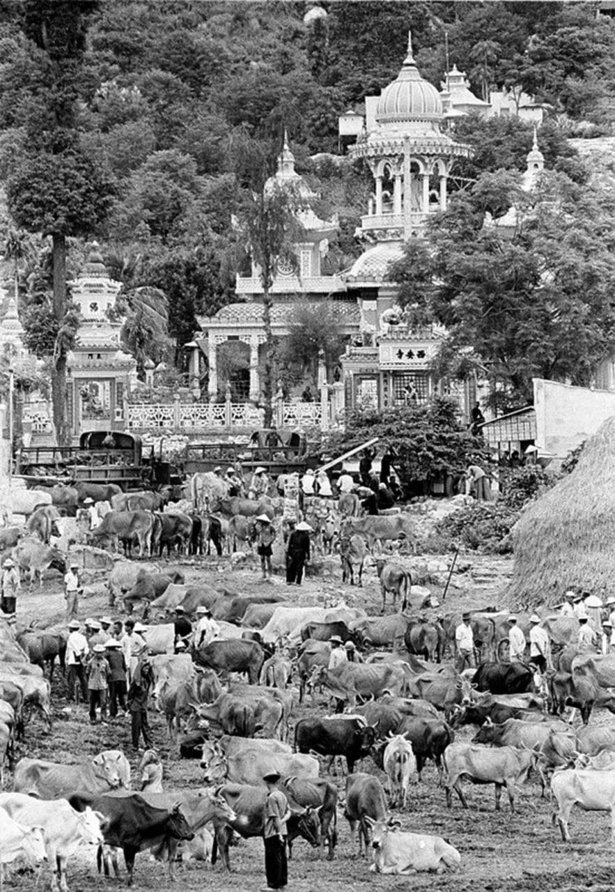 Khu chợ gia súc họp ở trước chùa Tây An - Châu Đốc năm 1970